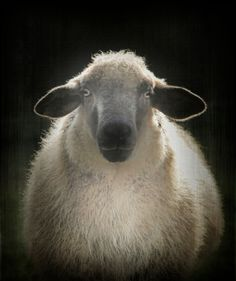 Sheep by Monika Strigel Farm Animals, Animals And Pets, Cute Animals, Sheep Art, Sheep Wool, Portrait Art, Pet Portraits, Wooly Bully, Baa Baa Black Sheep