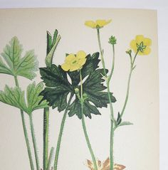 Yellow Buttercup Botanical Print 1923 Vintage Flower Art Print, Spring Gift Idea for Home Decor, Cottage Garden Wall Art, Mothers Day Gift by OldMapsandPrints on Etsy