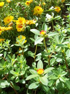 These are my wild small flowering purslane plants in the foreground with my yellow double blooming narrow leaf purslane in the background.