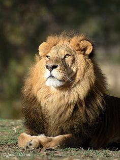 lion by Assaf Cohen on 500px