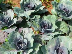 When I see cabbage growing, I also see jars of chow chow on my pantry shelf, that I get to enjoy after my husband and I have put in the labor...