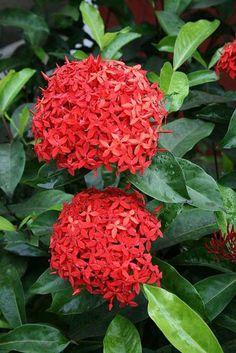 Ixora - A flor é caracterizada por pequenas pétalas bem agrupadas em formato circular, criando uma planta muito característica e usada em prédios públicos, inclusive.
