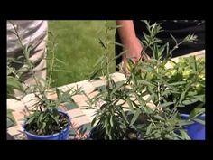 Jak pěstovat bylinky? - YouTube Healing Herbs, Plant Leaves, Gardening, Health, Plants, Youtube, Salud, Health Care, Garten