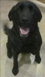 Sylvia** is an adoptable Labrador Retriever Dog in Duluth, MN. AVAILABLE AT ANIMAL ALLIES - DULUTH Beautiful Sylvia is looking for her forever home! Sylvia is an active, playful eleven month old black...