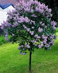 Lilac Bloomerang™ Tree Form: Fragrant Bloomerang blooms in spring and then again throughout the summer.  After a rest period in the heat of the summer it flowers again until frost. This lilac requires well-drained soil and full sun.  Remove spent blooms promptly to encourage reblooming, and save heavy pruning to shape after blooming. It works great as a foundation planting or as part of the mixed border.