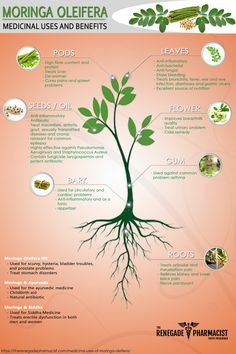 Discover how moringa benefits your health thanks to its nutritional qualities and a wide range of medicinal uses. Learn where to buy high-quality moringa. Moringa Oleifera Benefits, Moringa Leaves, Moringa Uses, Honey Benefits, Health Benefits, Cold Home Remedies, Natural Remedies, Homeopathic Remedies
