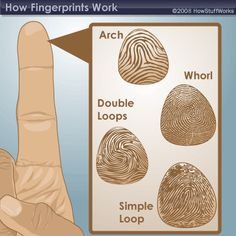 "HowStuffWorks ""What are fingerprints?"" - good diagram showing fingerprint patterns"