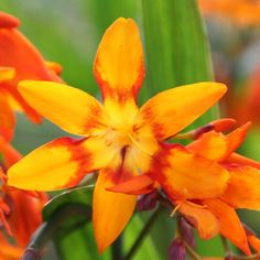 Crocosmia Emily Mackenzie  .6 high, fls Aug-Sept Fabulous orange blooms