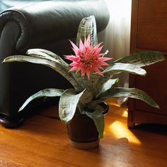 Silver Vase Plant..The stiff, gray-green leaves of this pineapple relative are edged with spines and form an upright vase or urn shape. Silver vase plant sends up a large cluster of long-lasting pink bracts that bear short-lived purple flowers. After the bracts fade, new offshoots, called pups, develop at the base of the mother plant