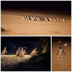 see the penguin parade at phillip island, australia