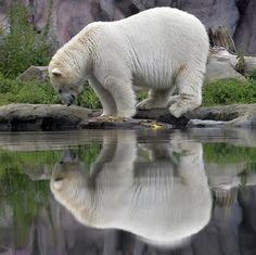 Un oso polar se entretiene viendo su reflejo en el agua dejada por las lluvias de verano en el zoológico de Gelsenkirchen, Alemania.  Foto: AP