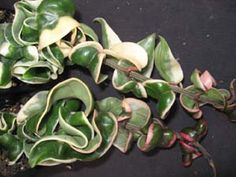Hoya compacta 'Regalis' , Variegated Indian Rope rareflora.com