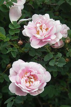 rosa 'Papula', Papulanruusu Som midsommarrosen men rosa..
