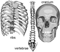 Find out how our skeleton helps us protect our internal organs and fragile body tissues. Click here to know how many bones in human body: http://www.learnbones.com/