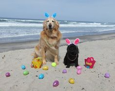 Fill your dog's  eggs with their favorite doggie treats. They will go nuts hunting them. Depending on how determined they are you may need to be nearby to prevent plastic egg destruction!