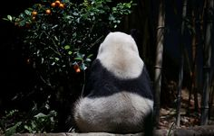Una femmina di panda gigante nello zoo di Singapore (AP Photo/Wong Maye-E)