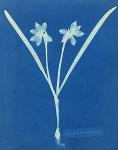 "Take home ""Leucojam Varium"" by Anna Atkins here: http://20x200.com/collections/anna-atkins/products/leucojam-varium"