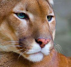 Puma - Mountain Lion Portrait