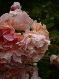 Amazing #roses #pemberton