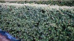 podocarpus totara matapouri- blue 1m high hedge Hedges, Stepping Stones, Landscape, Outdoor Decor, Plants, Blue, Serenity, Gardening, Stair Risers