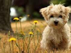 Cutey Pitutey Toy Poodle