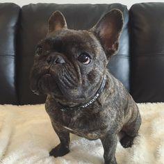 Pierre Brando, a Brindle French Bulldog