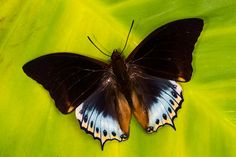 Darrel Gulin Photography | Gallery | Butterflies I Charaxes butterfly from Africa
