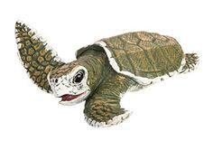 Safari Ltd Incredible Creatures Kemp's Ridley Sea Turtle Baby