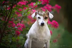 King Chad - by Heavenly Pet Photography #jackrussell #terrier #dog #photographer
