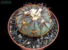 https://flic.kr/p/WJzymD   Echinocactus horizonthalonius v. complatus