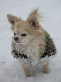 I can't get my #Chihuahuas to go out in the snow. Or the rain. Or the wind. Should have purchased stock in piddle pad companies years ago!