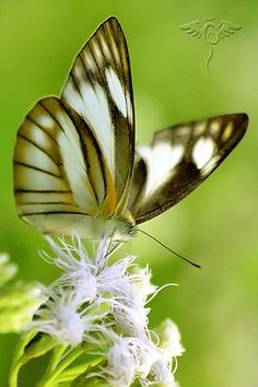 ***GIF*** butterflies and flowers –