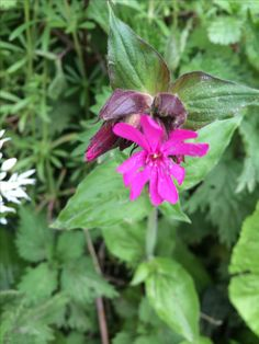 Red Campion, Wotton-under-Edge, April