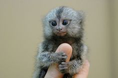 Some day when I become an evil scientist I want a pocket monkey that I can pet with one finger.