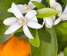 El Naranjo (Citrus aurantium amara) cultivo en el Sur de Francia, España, Marruecos, Argelia y Egipto. Aceite esencial de neroli. Aboluto de flores de azahar. Extracción con disolventes de las flores. Olor a azahar ligeramente amargo en los perfumes florales de gama alta.
