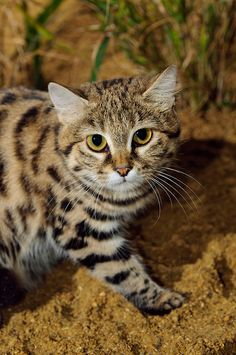 Black-footed cat (Felis nigripes) Big Cats, Cool Cats, Cats And Kittens, Rusty Spotted Cat, Black Footed Cat, Wild Cat Species, Animals And Pets, Cute Animals, Sand Cat