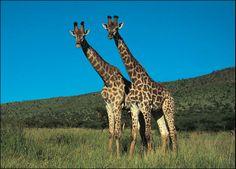 Own (or pet) a giraffe