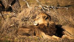 Gorgeous #lion seen from Notten's Bush Camp in the #Kruger area of South Africa. http://www.africatravelresource.com