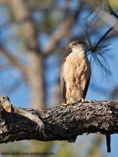 mis fotos de aves: Gavilán de cooper [Accipiter cooperii] Cooper's ha...