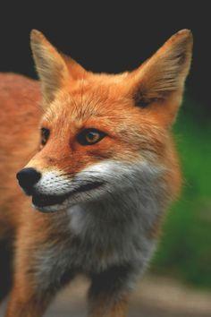 Red fox Source by evelindudek Nature Animals, Animals And Pets, Baby Animals, Cute Animals, Beautiful Creatures, Animals Beautiful, Fuchs Baby, Fennec, Fuchs Tattoo