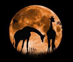 girafas na lua cheia