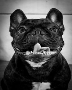 Lestat by sweetpaul: French Bulldog, 4 years old.Lives in Brooklyn. Loves treats and feet. Hates rain. #French_Bulldog