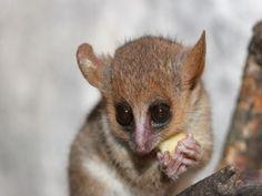 Lémur ratón gris con un pedazo de fruta en sus manos