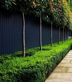 Creating two levels of hedging by underplanting the raised hedge: a formal low-clipped boxwood hedge under the raised hedge of Photinia x fraseri 'Red Robin'. Both are evergreen, creating great year-round interest.
