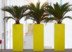 Cycas Revoluta in yellow pots