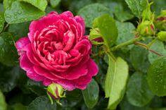 Image result for hot pink garden roses