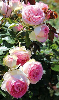 Die Strauchrose 'Eden Rose 85' ist trägt den Charme der Englischen Rosen, eine mehrfach blühende und fast schon nostalgische Rose, die den Charme alter Rosensorten versprüht. Sie ist auch unter dem Namen ihres Züchters 'Pierre de Ronsard' bekannt. Gezüchtet wurde sie im Jahre 1985 vom Traditionshaus Meiland. Im Jahre 2006 wurde sie zur 'Weltrose' gekürt, die höchste Auszeichnung, die es für eine Rose geben kann. Gefunden auf www.tom-garten.de