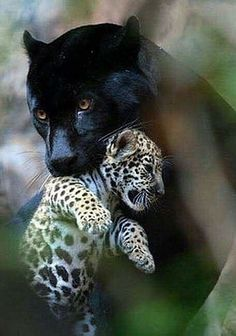 Black Female Panther Carrying Her Cub to a New Destination. Big Cats, Cool Cats, Cats And Kittens, Cute Funny Animals, Cute Baby Animals, Nature Animals, Animals And Pets, Wild Animals, Beautiful Cats