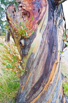 Snow Gums Crackenback by paulriley