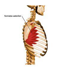 serratus anterior... The forgotten shoulder muscle
